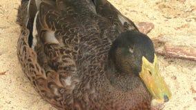Duck on farm stock footage
