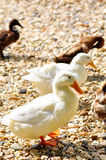 Duck on the farm Royalty Free Stock Photos