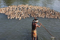 A duck farmer . ALAPPUZHA- DECEMBER 12:A duck farmer at famous backwaters of Kerala around Alapuzha on December 12, 2008 in Kochi, Kerala, India Royalty Free Stock Image