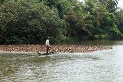 Duck farmer guides his ducks Stock Image