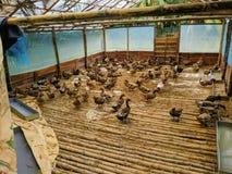 Duck Farming fotografía de archivo libre de regalías