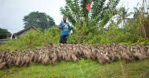 Duck farming Stock Photos