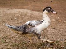 Duck Farming orgánico en rural imagenes de archivo