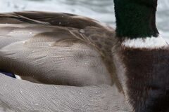 Duck feathers close-up Royalty Free Stock Photo