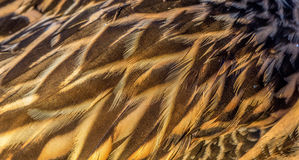 Duck feathers Royalty Free Stock Photography
