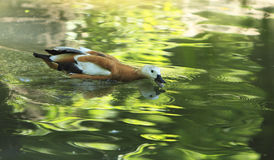 Duck feeding. Image of a common duck with an open beak in a pond in a green forest Stock Photography