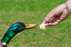 Duck Feeding On Bread Stock Photo