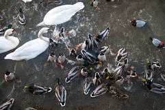 Duck feeding frenzy Stock Photography