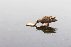 A duck feeding on a frozen lake. In the winter Stock Photography