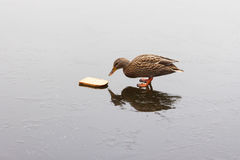 A duck feeding on a frozen lake. In the winter Stock Photo