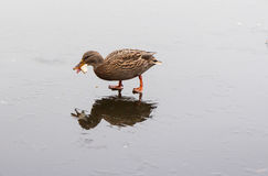 A duck feeding on a frozen lake. In the winter Stock Images