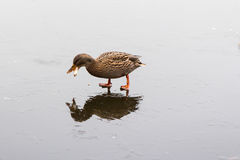 A duck feeding on a frozen lake. In the winter Royalty Free Stock Photography