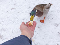 Duck feeding from hand Stock Photography