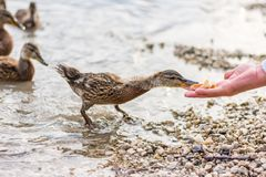 Duck feeding from the hand. Tourist give food to small young duck. Cute animal feeding.  royalty free stock photos
