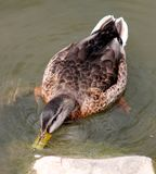 Duck Feeding on the Moss on a rock Royalty Free Stock Images