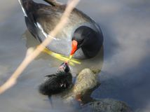 Duck feeding newly hatched chick. A female duck feeding her newly hatched chick.  Taken at the Arundel Wetlands Centre, West Sussex, UK Royalty Free Stock Images