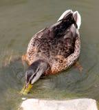 Duck Feeding no musgo em uma rocha Imagens de Stock Royalty Free