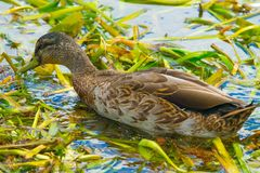 Duck feeding in pond weed royalty free stock image