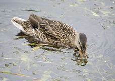 Duck feeding in the water Stock Photos