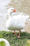 Duck And Feet Having blanc un bout droit à côté d'un étang Image libre de droits