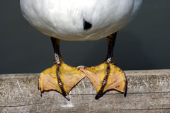 Duck feet perched on a wooden pier Stock Photos