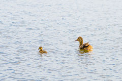 Duck Female and Duckling Stock Photography
