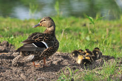 Duck female with ducklings Stock Images