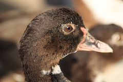 Duck Female Face. Head and face of big domestic Muscovy duck. Stock Photo