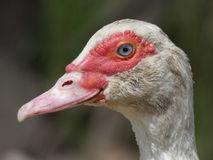 Duck Female Face Royalty Free Stock Image