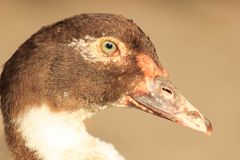 Duck Female Face. Head and face of big domestic Muscovy duck. Royalty Free Stock Photography