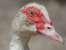 Duck Female Head Royalty Free Stock Photo