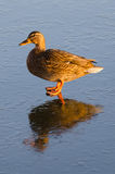 Duck female with ice reflection Royalty Free Stock Photos