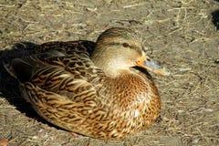 Duck female lyining Royalty Free Stock Images
