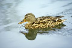 Duck, female mallard duck. Swims on water, pure water Stock Image
