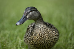 Duck female Royalty Free Stock Image