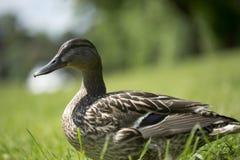 Duck female Stock Photos