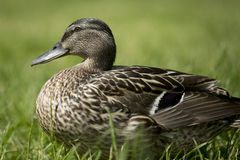 Duck female Stock Photography