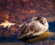 Duck Female Mallard Sleeping Royalty Free Stock Image