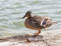 A duck. A female mallard standing alone on the log next to the river Stock Image