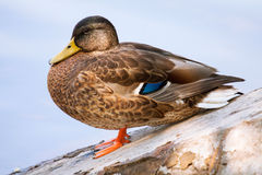 Duck. Female duck on a natural background Stock Photos