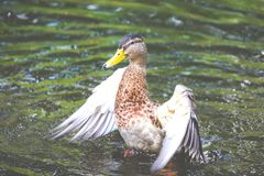 Duck female open the wings great colors Stock Photography