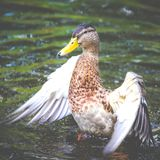 Duck female open the wings great colors Royalty Free Stock Photos