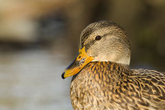 Duck female portrait Royalty Free Stock Images