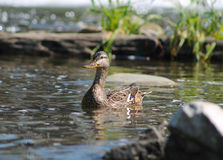 Duck. Female duck swimming among the stones in the river Stock Photography