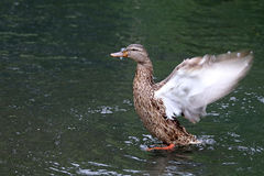Duck. Female duck in the water Royalty Free Stock Photos