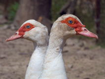 Duck Females Two Heads Abstract Royaltyfri Bild