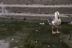 Duck Fifteen Fotos de Stock