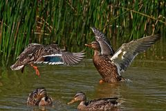 Duck fight. The conflict in the duck family Royalty Free Stock Photo