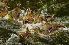 Duck Fight Stock Photo