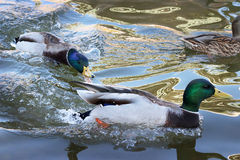 Duck fight royalty free stock photo